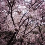 桜綺麗ですね(*'∀')